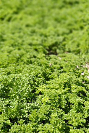 san joaquin valley: Parsley field in a valley in Central California