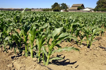 san joaquin valley: Young corn field in a valley in Central California