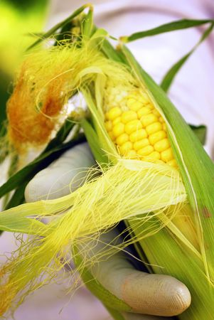 Home gardener holding corn on the cob picked fresh from the garden photo