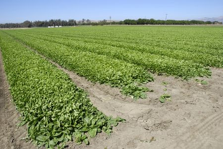 planted: Fresh young spinach in a field in Central California ready for harvest