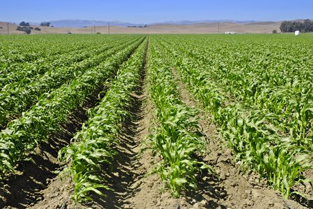 Young corn field in a valley in Central California