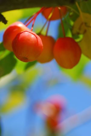 backlighting: Crab apples hanging from a tree and backlit by the sun Stock Photo