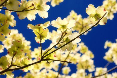 Dogwood orientale de floraison des arbres - Cornus florida  Banque d'images - 2940057