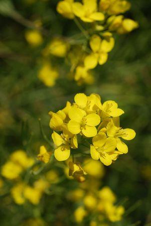 brassica: Macro of a mustard flower - Brassica juncea, Brassica nigra