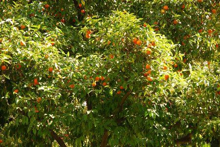 Orange tree bearing fruit in sunlit orchard Фото со стока