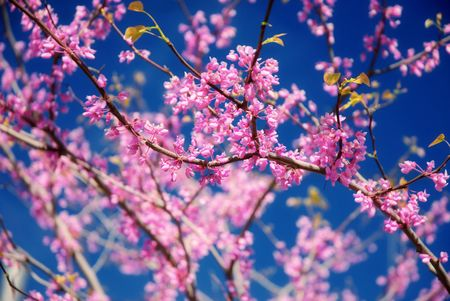 redbud tree: Redbud tree in bloom with pink flowers Stock Photo