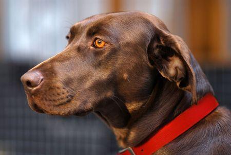 Portrait of a female chocolate labrador retriever photo