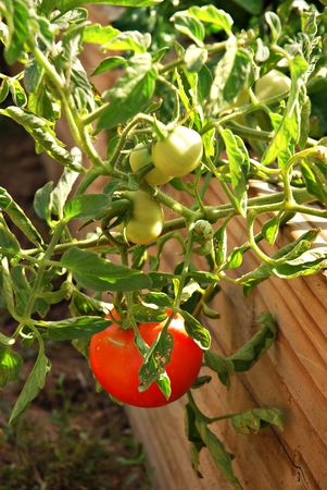Beefsteak tomato growing in wooden raised bed