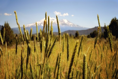 snow capped mountain: Field of grass with Mt Shasta in background Stock Photo