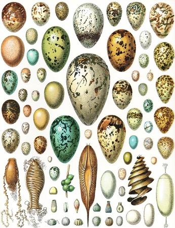 Eieren van vogels, schildpadden, vissen en koppotigen, plus vlinders - Uitstekende illustratie van Meyers Konversations-Lexikon 1897 Stockfoto