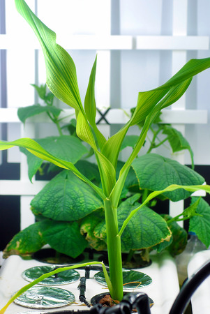 hydroponic: Corn and cucumbers growing in an indoor home-hydroponic system Stock Photo