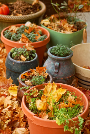 harvested: Pots of harvested herbs surrounded by autumn leaves