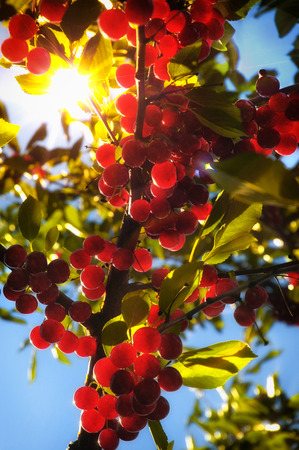 Flathead Lake pie cherries ripening on a sunlit tree Stock Photo