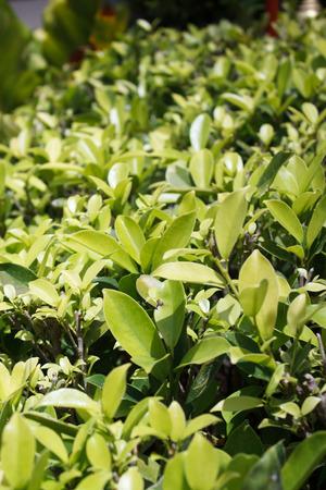 sulight: pattern green leaf in sunlight Stock Photo