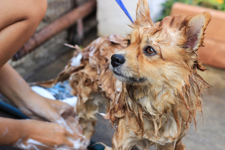 brown pomeranian take a shower standing portrait photo