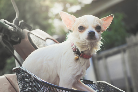 packsack: one white chihuahua on front bastket motorcycle vintage style