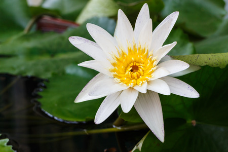 white leaf lotus flower on water  photo