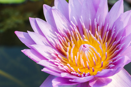 purple leaf lotus flower on water photo stock,water lily photo