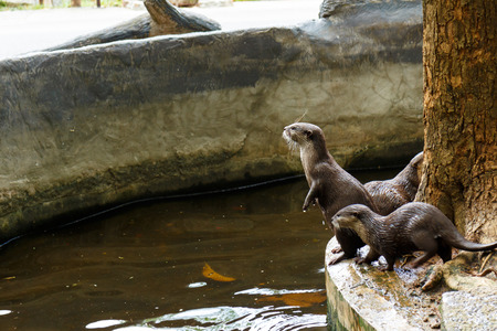 aonyx: An oriental small-clawed otter  Aonyx cinerea  Asian small-clawed otter