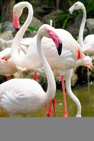 flamenco ave: flamenco rosado de aves en el zoológico Foto de archivo Foto de archivo