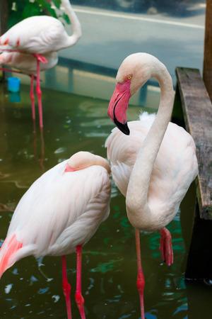 flamenco ave: flamenco rosado de aves en el zool�gico Foto de archivo Foto de archivo