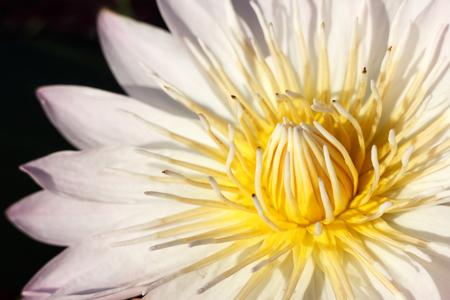 white lotus flower: close up white lotus flower, isolation on black background