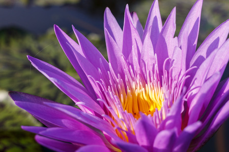 nenuphar: close up purple lotus flower on blur background