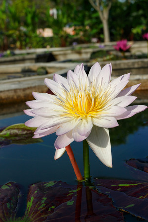 white lotus flower: close up white lotus flower  on blur background Stock Photo