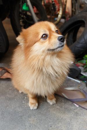 to sit: Pomeranian sit on floor.