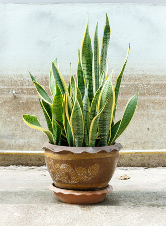 ornamental plant: Sansevieria trifasciata in pot on old wall background