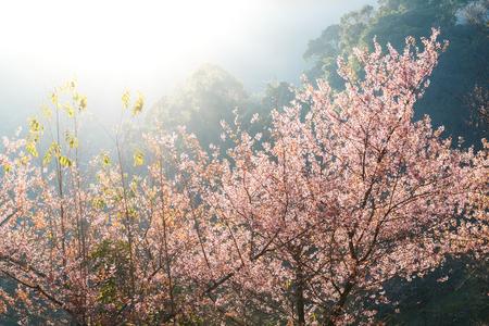 close up pink flower blossom, Prunus cerasoides (Sakura Thailand) with lighting effect Stock Photo