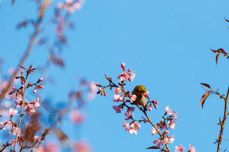 close up yellow bird at  pink flower blossom, Prunus cerasoides (Sakura Thailand)