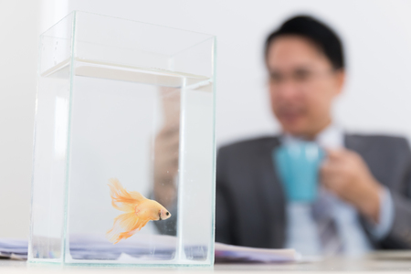 business man and siamese fighting fish in office room, activity relaxation and hobby in office at break time