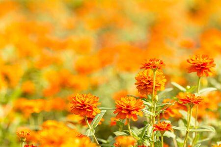 close up orange flower and natural blur on background