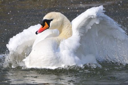 Mute Swan in preening. photo