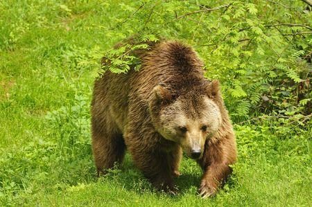 warren: Brown bear Stock Photo