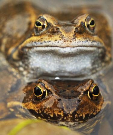 Spring frogs to mate. Stock Photo