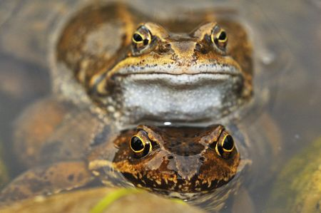 Spring frogs to mate. Stock Photo - 7622353