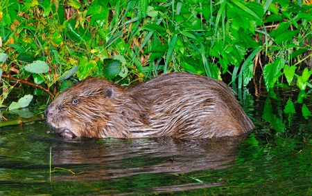 Beaver in his nocturnal foraging.