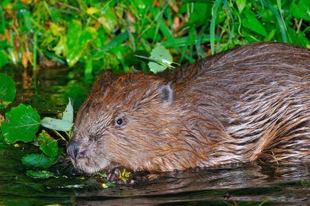 castors: Beaver in his nocturnal foraging.