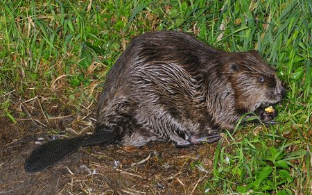 Beaver in his nocturnal foraging. photo