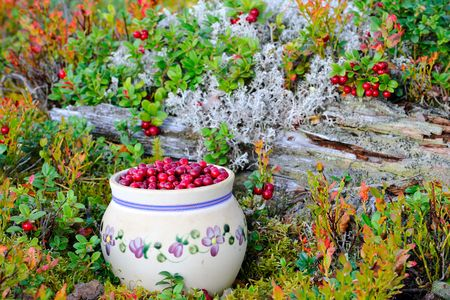 Cranberries hunts in the forest.