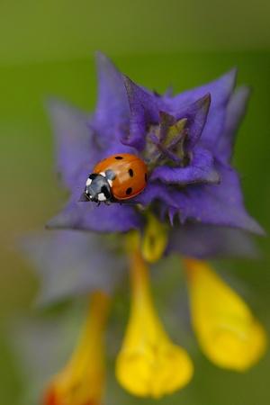 Hain-cow-wheat with ladybugs. Stock Photo - 9061896