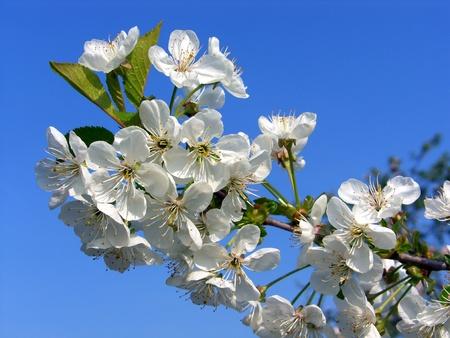 heralds: Cherry blossom in spring.