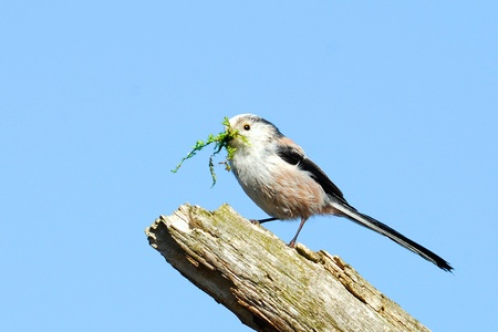Long-tailed Tit at nest building.