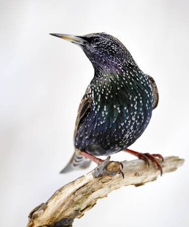 plumage: Starling in his plumage.