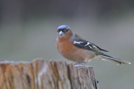 chaffinch: Chaffinch on a log Stock Photo