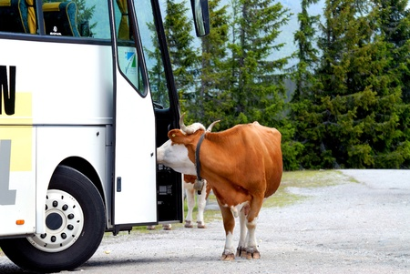 Cow stands in front of a bus.