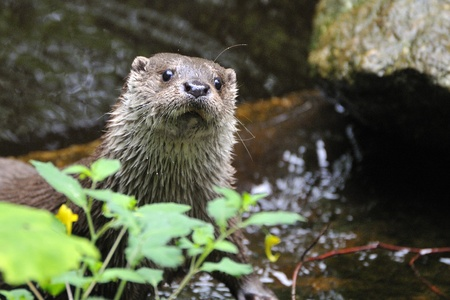 Otter in its environment while playing.European Otter Stock Photo