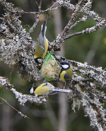 Great Tit, Tit for foraging.